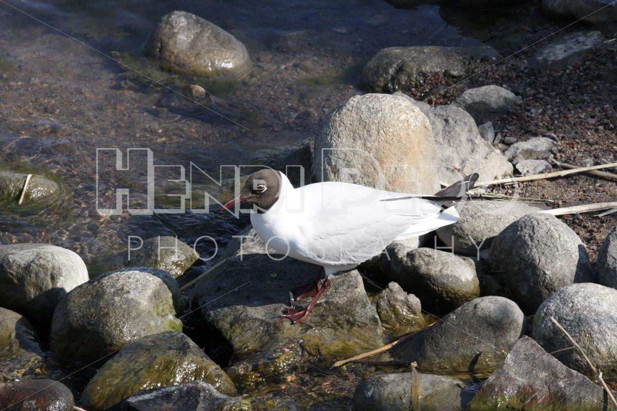Black-headed Gull - Henri Pero Photography