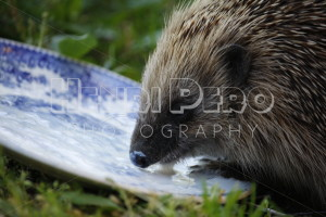 European Hedgehog - Henri Pero Photography