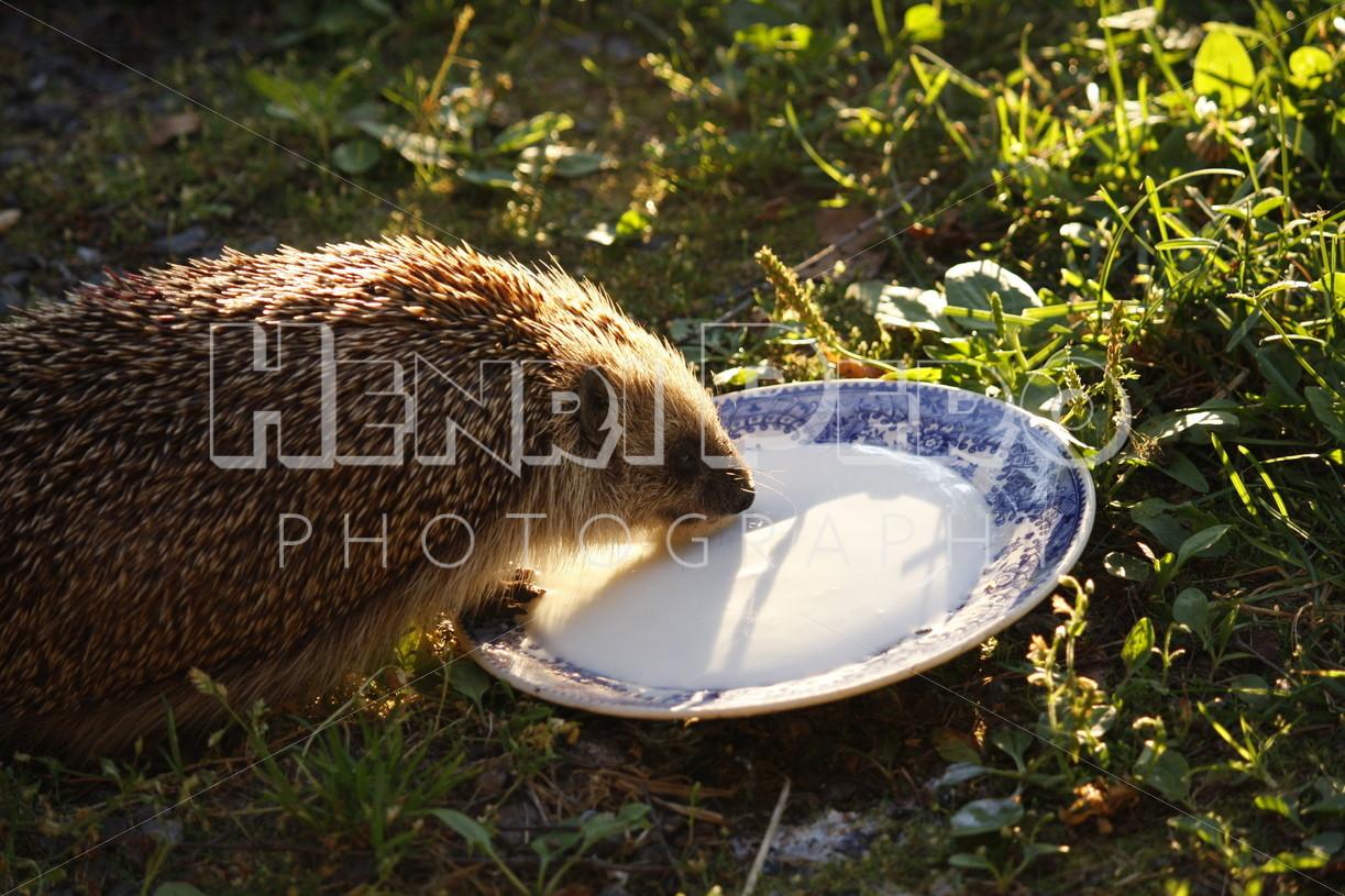 European Hedgehog - Henri Pero Photography