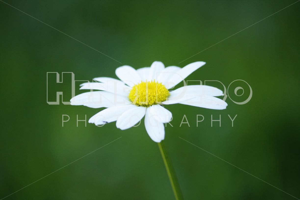 Oxeye Daisy - Henri Pero Photography