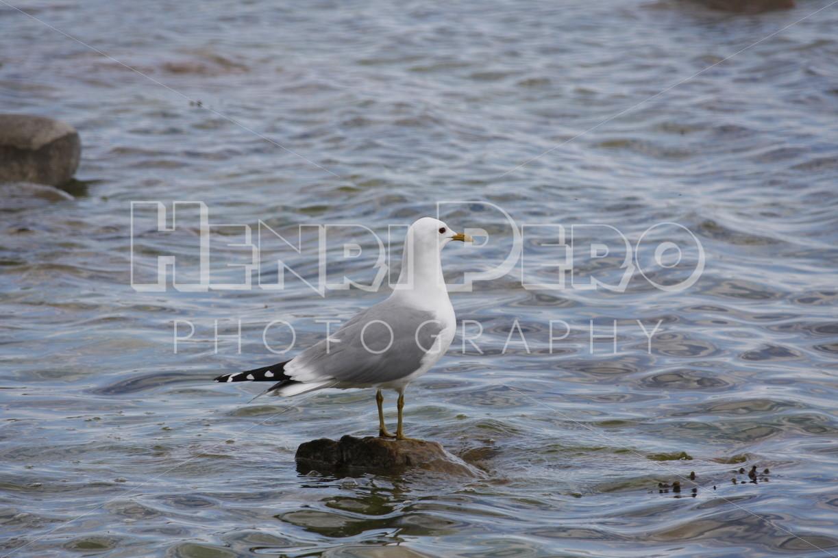 Common Gull - Henri Pero Photography
