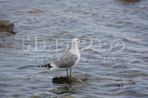 Common Gull - Henri Pero Photography