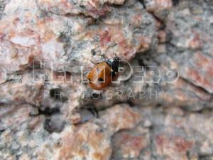 Ladybug - Henri Pero Photography