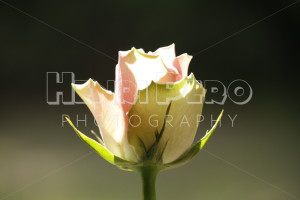 Light Pink Rose - Henri Pero Photography