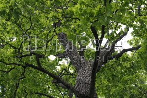 Maple Canopy - Henri Pero Photography