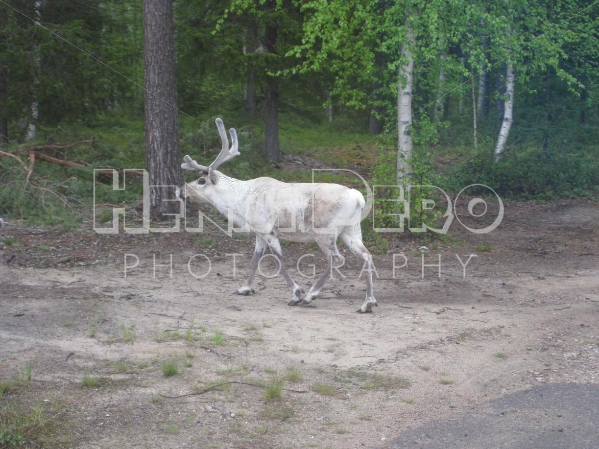 Reindeer - Henri Pero Photography