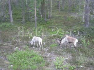 Reindeers - Henri Pero Photography