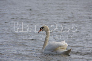 Swan - Henri Pero Photography