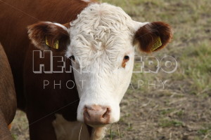 Cow - Henri Pero Photography