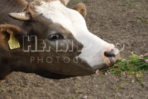 Cow Eating Clovers - Henri Pero Photography