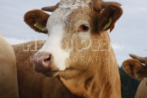 Cow on Farmland - Henri Pero Photography
