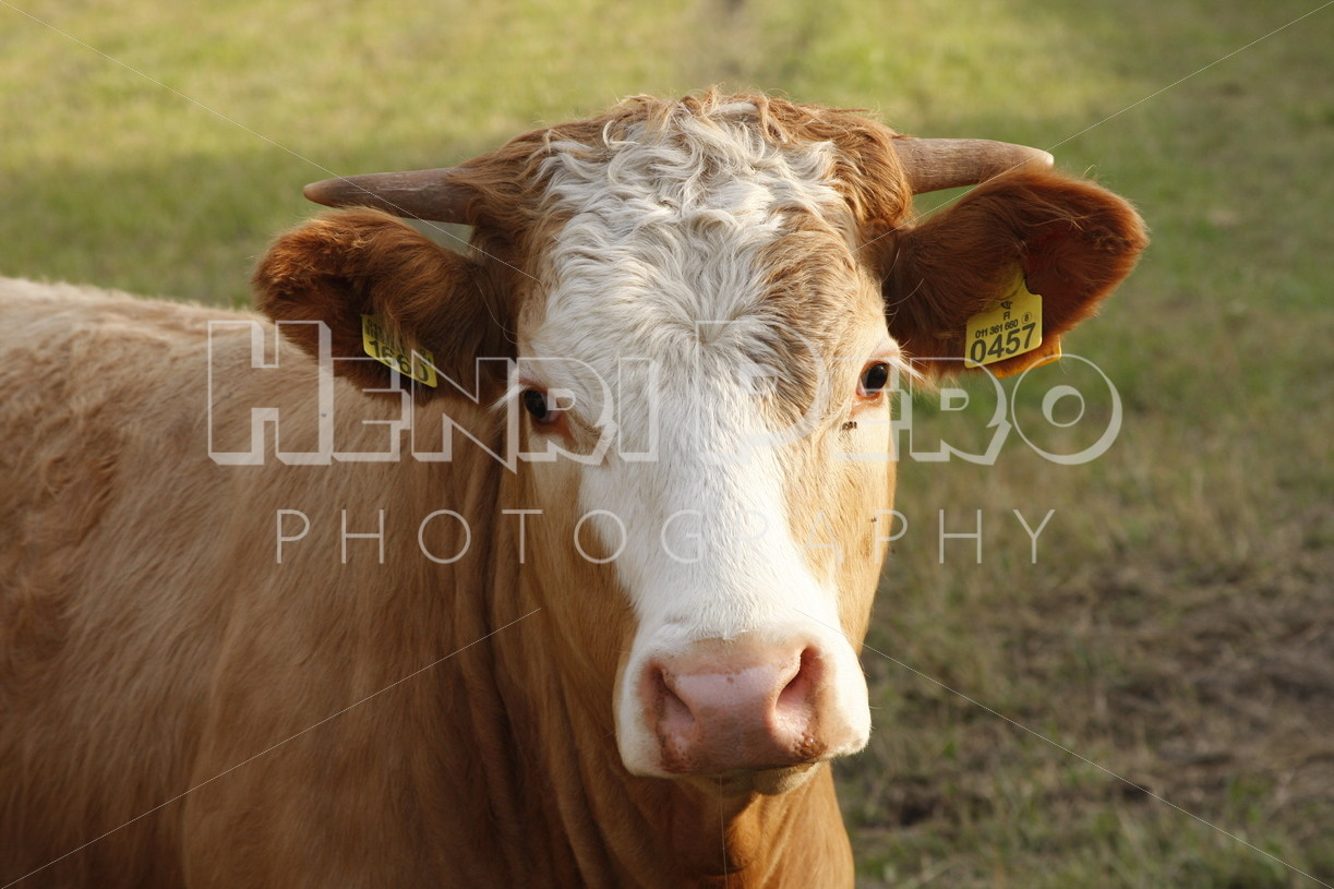 Cow on the Field - Henri Pero Photography