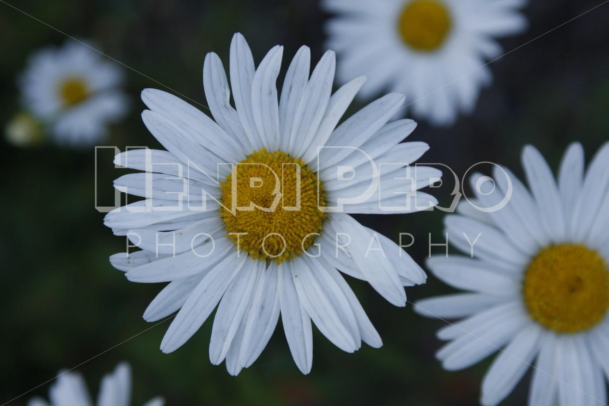 Oxeye Daisys - Henri Pero Photography