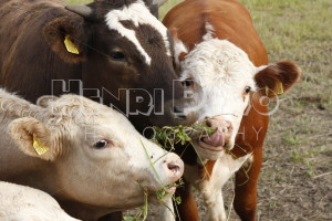 Three Cows Eating Clovers - Henri Pero Photography