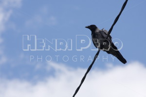 A Hooded Crow on a Wire - Henri Pero Photography