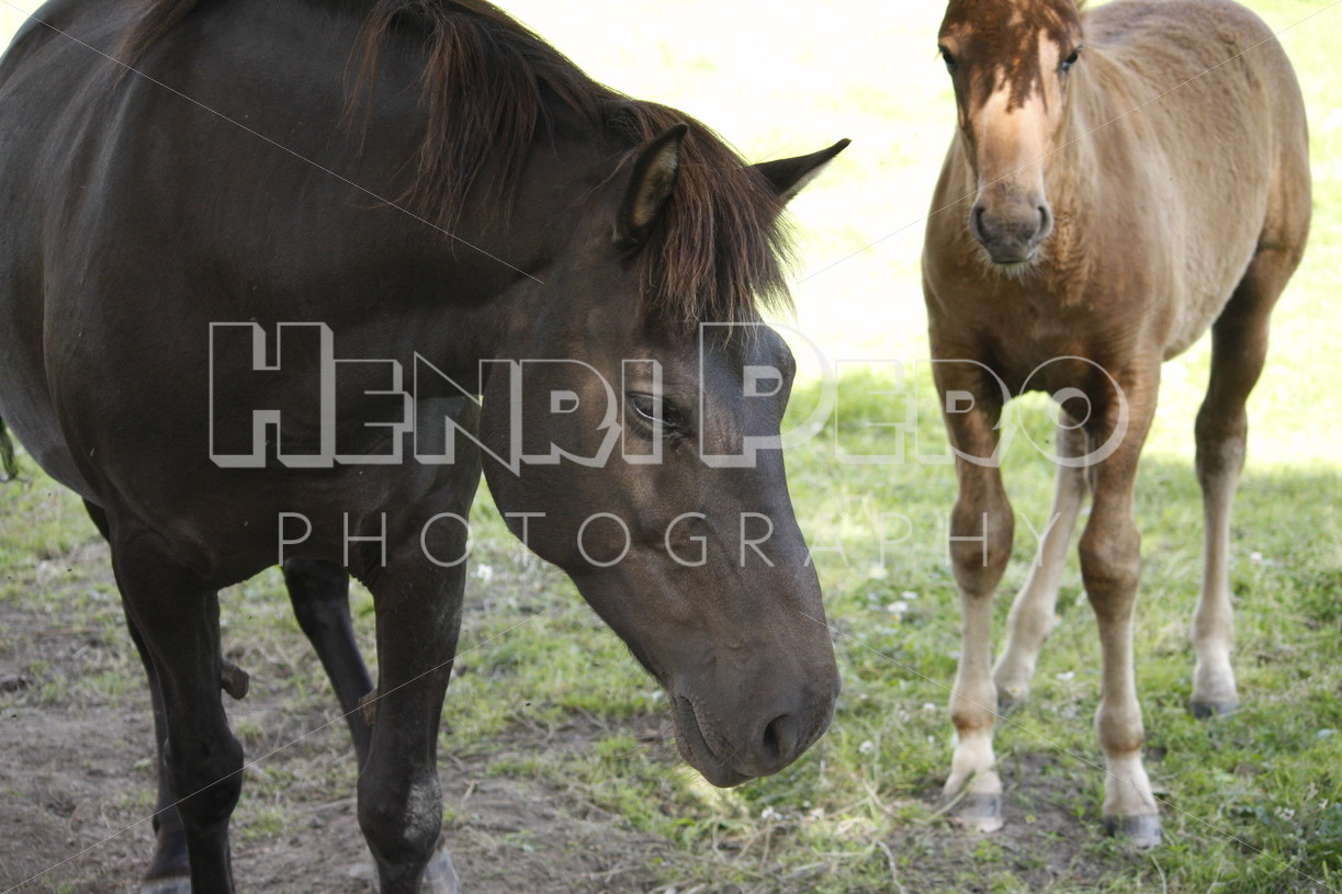 Horses on a Field - Henri Pero Photography