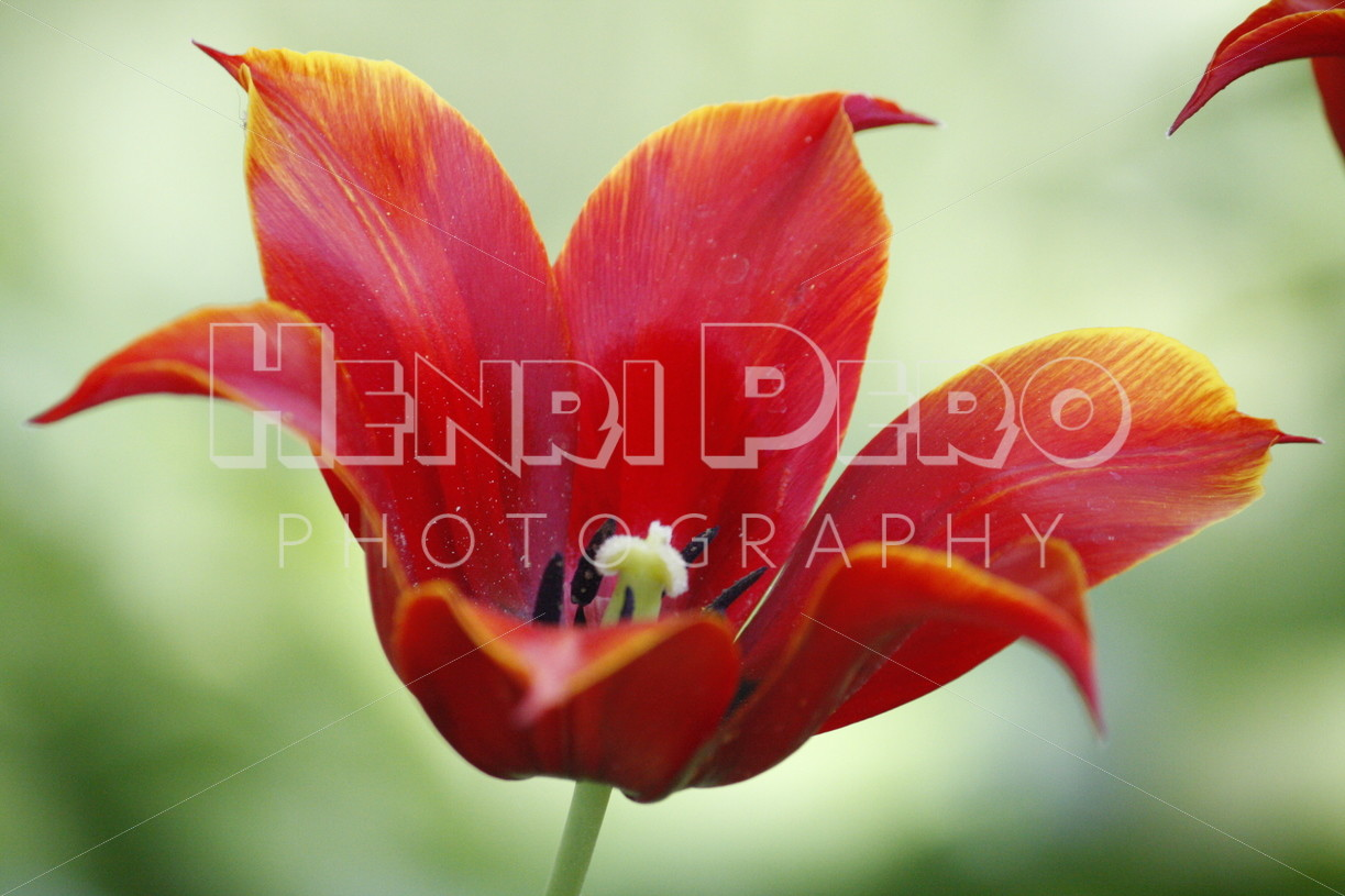 Red Tulip - Henri Pero Photography