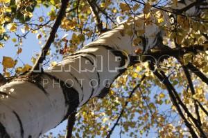 Birch Tree - Henri Pero Photography