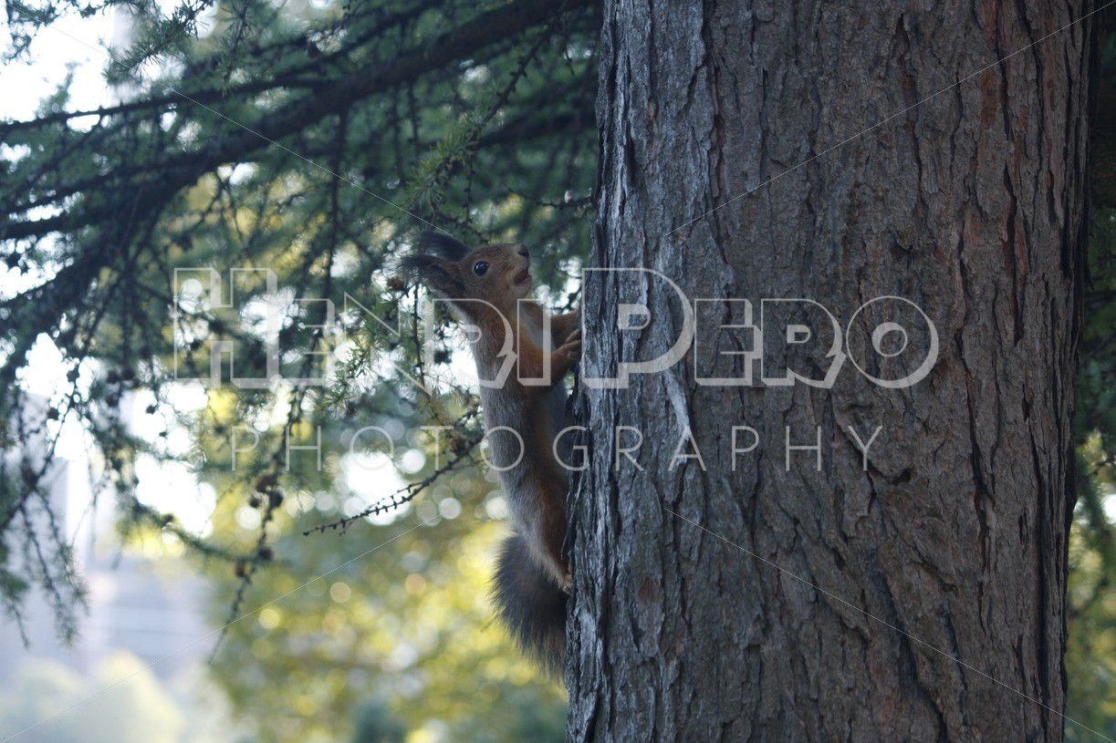 Red Squirrel Climbing on the Tree - Henri Pero Photography