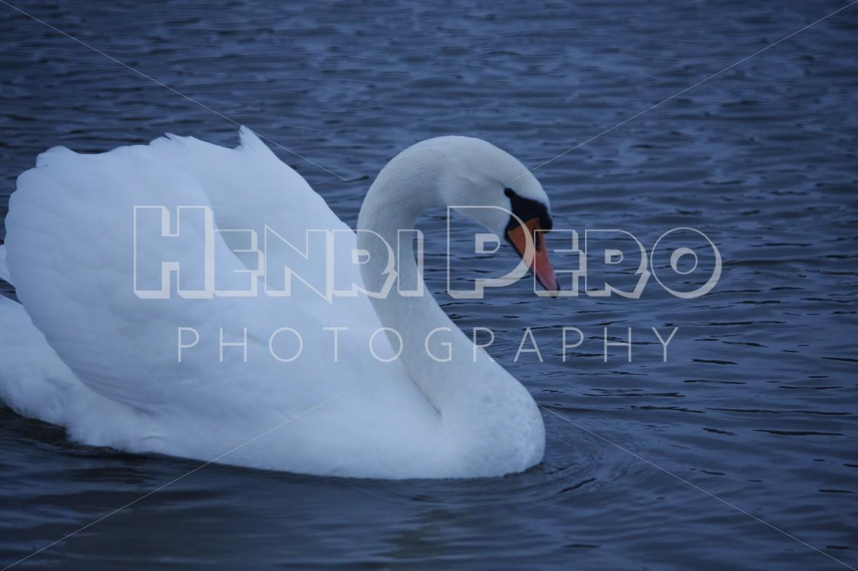 Swan in Töölönlahti - Henri Pero Photography
