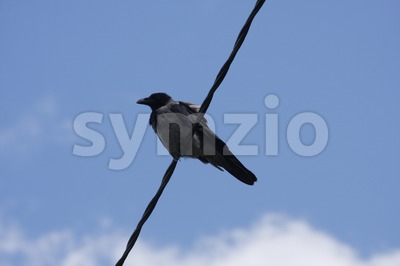 A Hooded Crow on a Wire Stock Photo