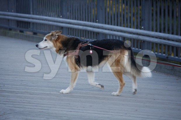 Dog Walking in the City Stock Photo