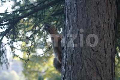 Red Squirrel Climbing on the Tree Stock Photo