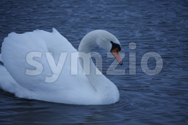 Swan in Töölönlahti Stock Photo