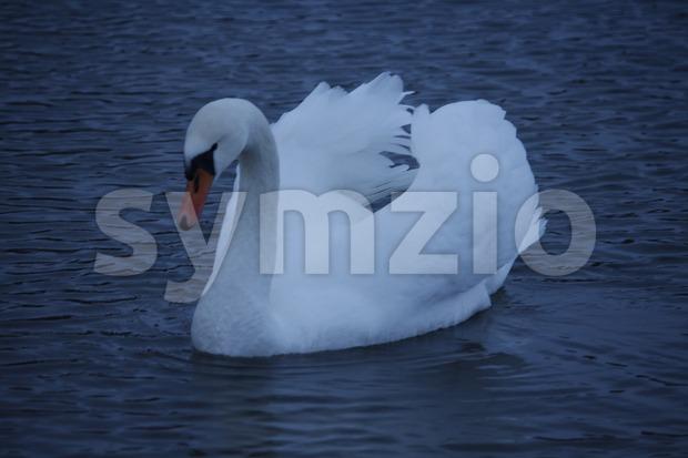 Swan in Töölönlahti Stock Photo