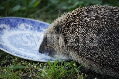 European Hedgehog Stock Photo