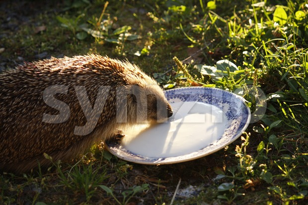 European hedgehog drinking buttermilk at sundown