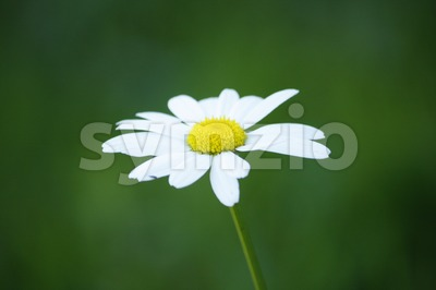 Oxeye Daisy Stock Photo