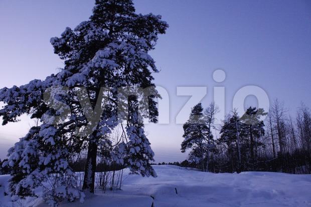 Scots Pine Winter Landscape Stock Photo