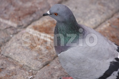 Pigeon Stock Photo