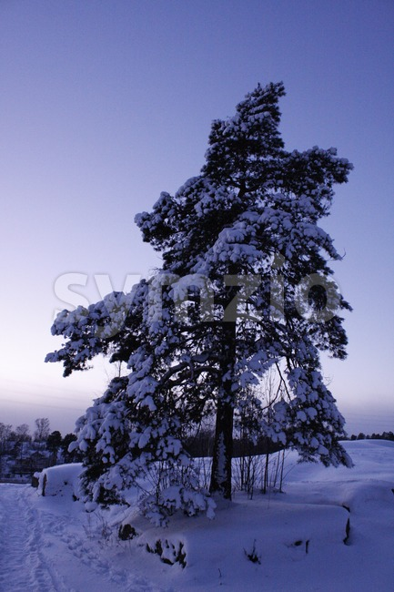 Scots pine tree and snow in Helsinki, Finland.