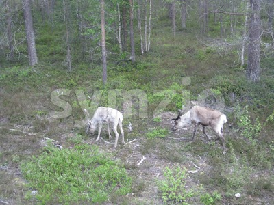 Reindeers Stock Photo