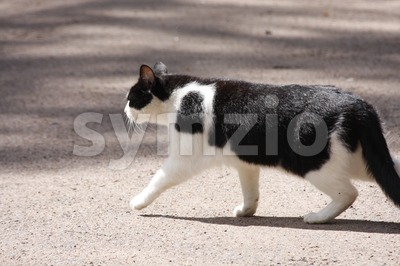 Cat Crossing a Road Stock Photo