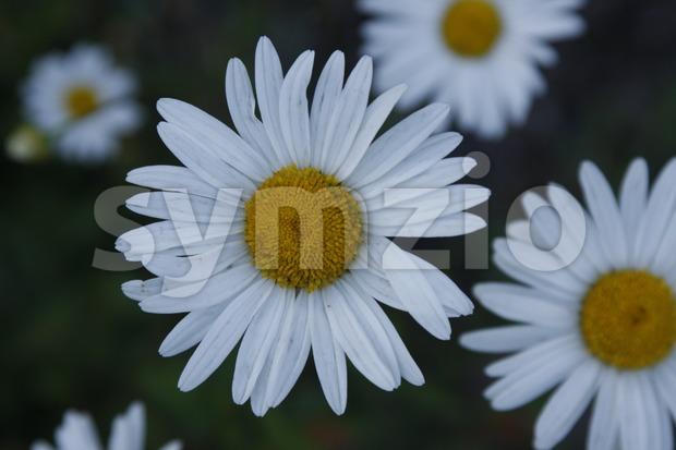 Oxeye Daisys Stock Photo