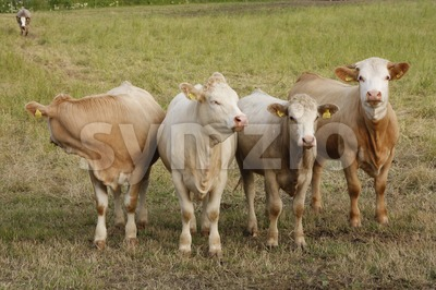Cows on the Field Stock Photo