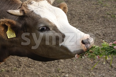 Cow Eating Clovers Stock Photo