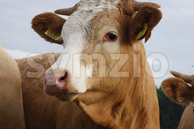 Cow on Farmland Stock Photo