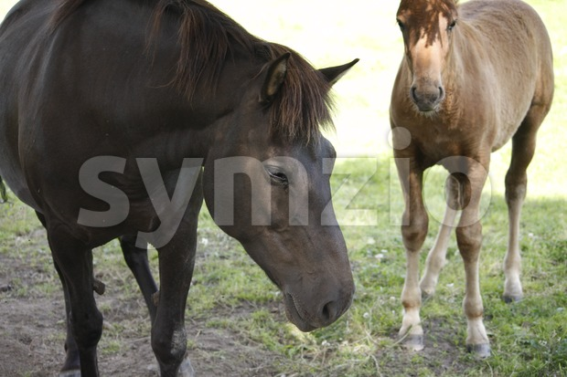 Horses on a Field Stock Photo